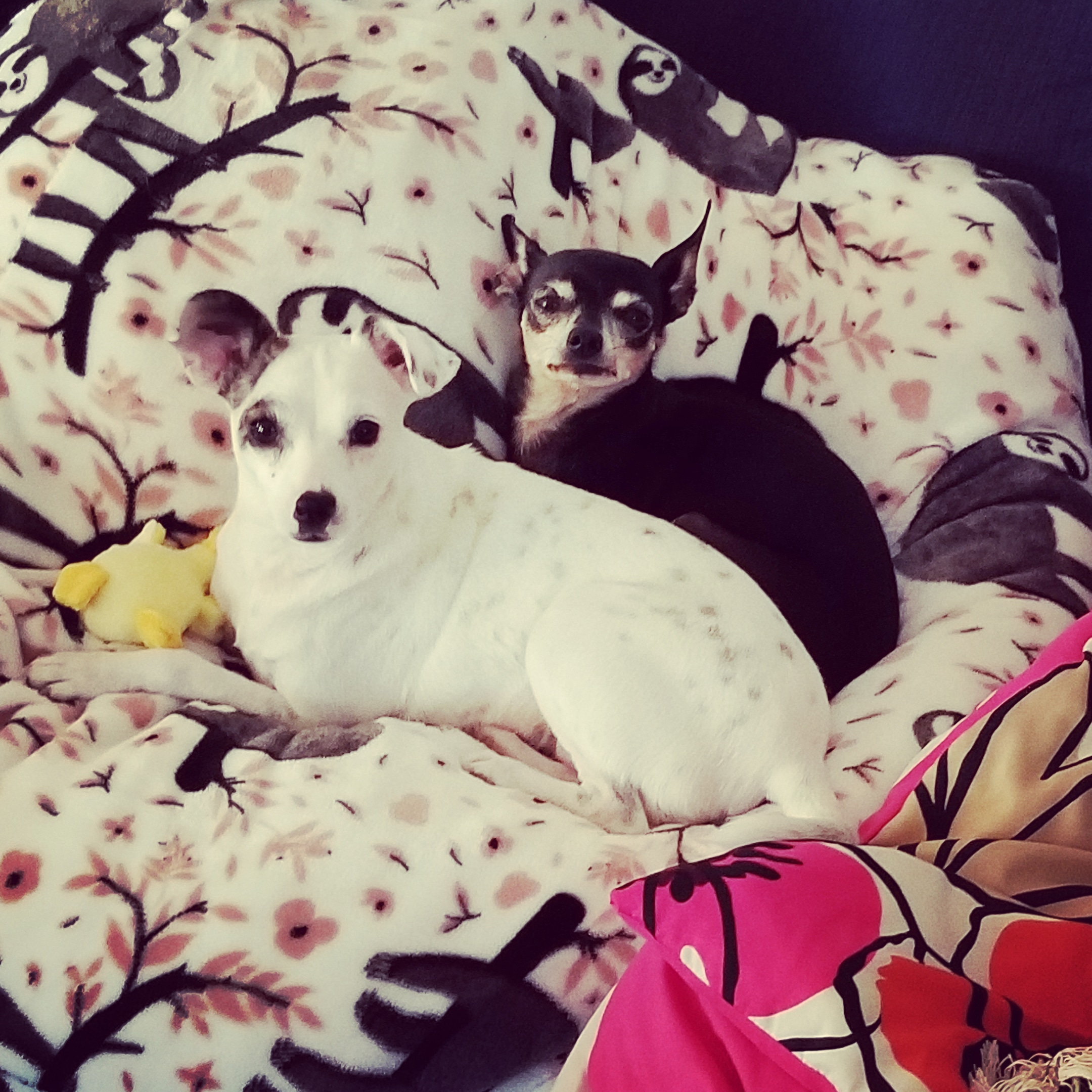 Small black and tan chihuahua with ears pointed sitting behind a white Jack Russell mix holding a yellow duck. Both dogs sitting on a white bed with sloths.